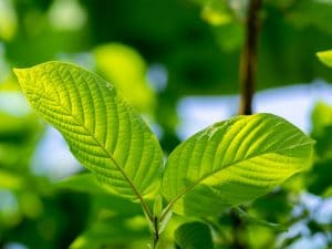 buy kratom herb