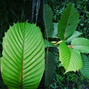 how many types of kratom are there