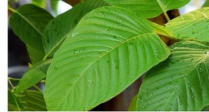 is kratom legal in the us for sale