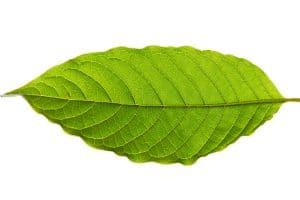 difference between kava and kratom